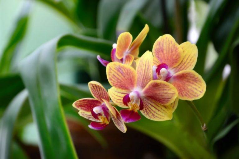 Перекись водорода заставит упрямую орхидею распускать один бутон за другим