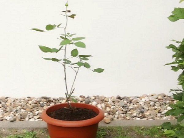 Как вырастить розу дома самостоятельно