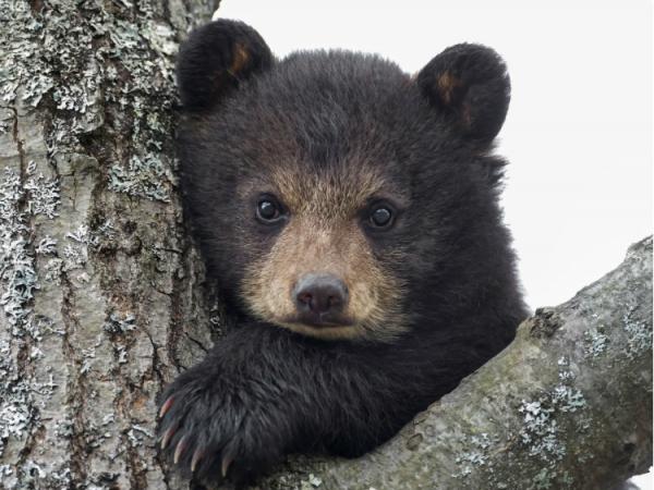 Мужчина спас медвежонка в тайге, а тот вернулся еще за помощью через 5 лет